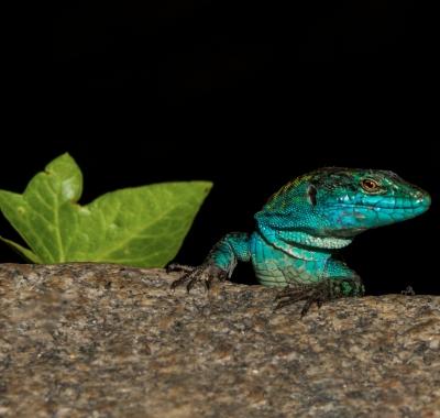 Lucertole azzurre
